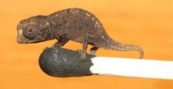 Juvenile Brookesia micra on a match