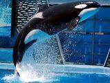 Katina (orca)
