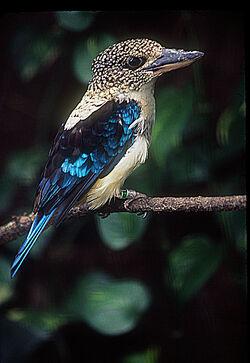 Aru giant kingfisher (Spangled kookaburra)
