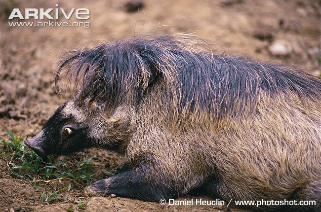 Visayan Warty Pig | Animal Database | FANDOM powered by Wikia