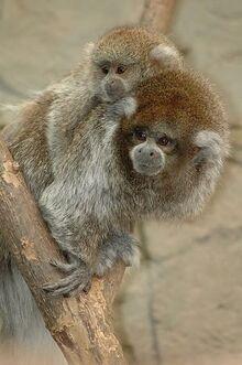 White-Eared-Titi-Monkey-a