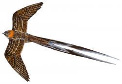 05 36 088 Macropsalis forcipata flying m