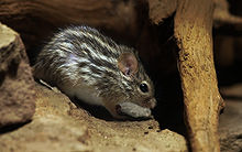 220px-Barbary Striped Grass Mouse