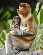 Baby-proboscis-monkey-with-mother