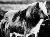 Greenland Wolf