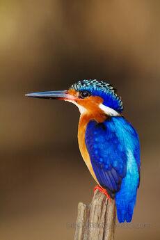 Malagasy-Kingfisher-Madagascar-Kingfisher-Portrait-Madagascar-by-Marius-Coetzee