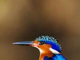 Malagasy Kingfisher