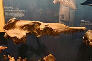 Zygorhiza kochii skull