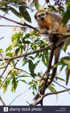 Andean-titi-monkey-callicebus-oenanthe-wild-alto-mayo-peru-recently-B5J2MN