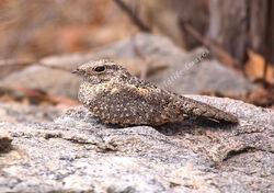 Nyctipolus hirundinaceus Pygmy Nightjar Adult 3919a c Roger amp Liz Charlwood WorldWildlifeImages com