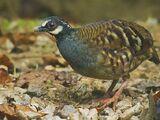 Malaysian Partridge