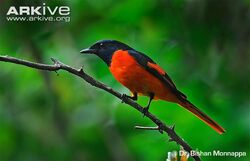 Male-scarlet-minivet