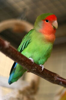 800px-Agapornis roseicollis -Peach-faced Lovebird pet on perch