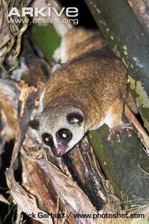Fury-eared-dwarf-lemur-at-night