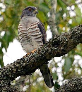 Hawk African cuckoo ANP PerH 2013 07