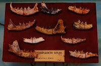 Stenoplesictis cayluxi jaws
