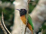 Black-headed Bee-eater