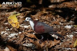 Male-Polynesian-ground-dove-amongst-leaf-litter