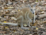 Northern Nail-tail Wallaby
