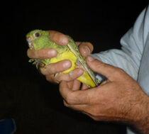 Night Parrot capture crop
