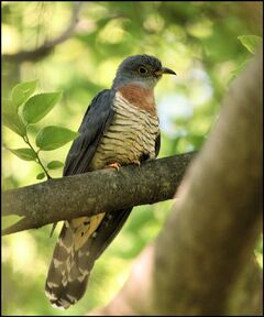 Red-chested Cuckoo2 - WS