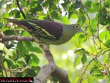 Grey-cheeked Green Pigeon