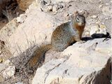 Ring-tailed Ground Squirrel