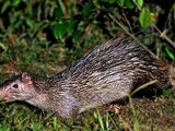 Asiatic Brush-tailed Porcupine