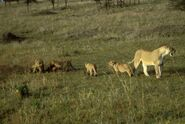Female-lion-with-cubs-mammals