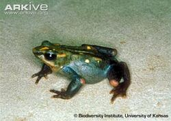Pass-stubfoot-toad-side-view