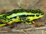 Elegant Stubfoot Toad