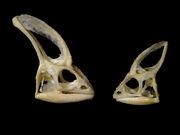 Veiled chameleon skulls