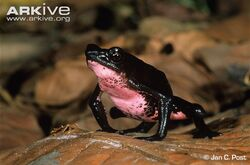 Male-upper-Amazon-stubfoot-toad-anterior-view