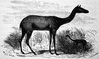 Restoration Xiphodon gracilis 1863