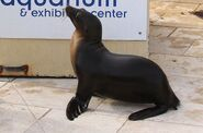 Nila-seal-long-island-aquarium