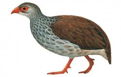 02 47 054 Francolinus camerunensis m