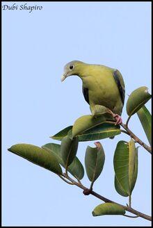 Flores Green Pigeon 2