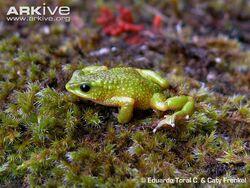 Male-Atelopus-exiguus-on-moss