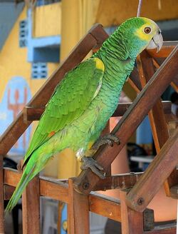456px-Amazona barbadensis -pet-4
