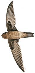 05 39 035 Aerodramus sawtelli