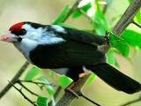 Black-backed Barbet
