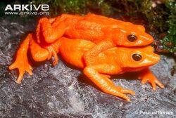 Cloud-forest-stubfoot-toad-pair-in-amplexus
