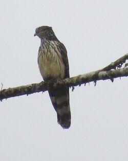 Long-tailed Honey-Buzzard Dablin Creek - 04