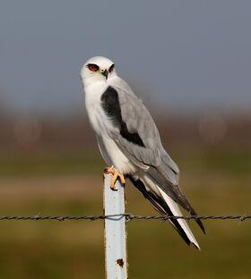 White-tailed-Kite-crop