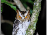 Negros Scops Owl