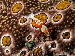 800px-Periclimenes imperator (Emperor shrimp) on Bohadschia argus (Sea cucumber)