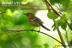 Tinian-monarch-on-a-branch