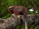 White-tailed Titi