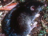 Isarog Striped Shrew-rat