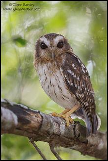 Bare-legged owl glenn bartley
